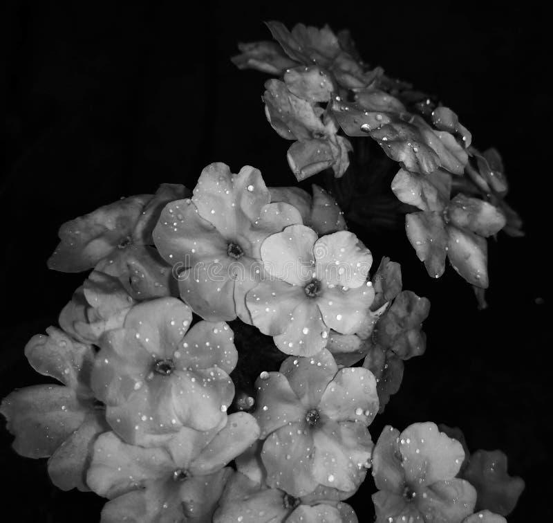 Verbena bianca e nera con Sprinkles Raindrop immagine stock
