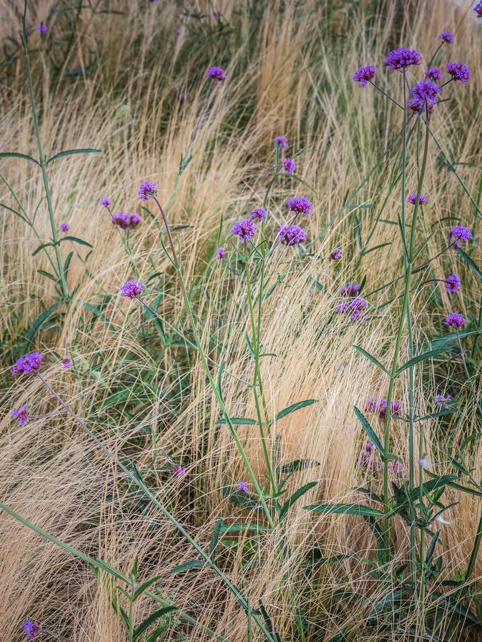 Verbena bonariensis flowers in blossom royalty free stock photos
