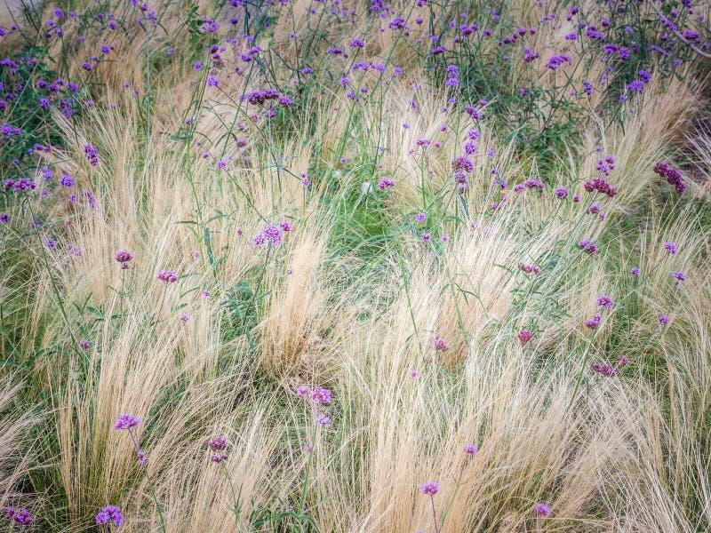 Verbena bonariensis flowers in blossom stock photo