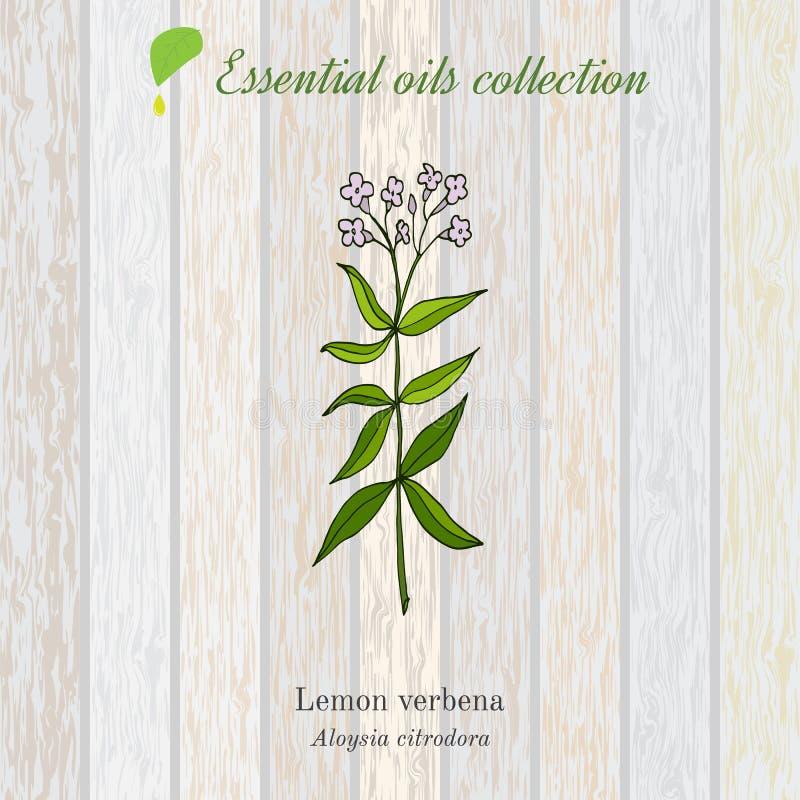 Verbena del limón, etiqueta del aceite esencial, planta aromática stock de ilustración