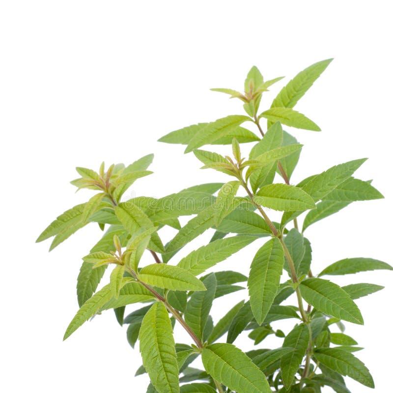 Verbena del limone fotografia stock