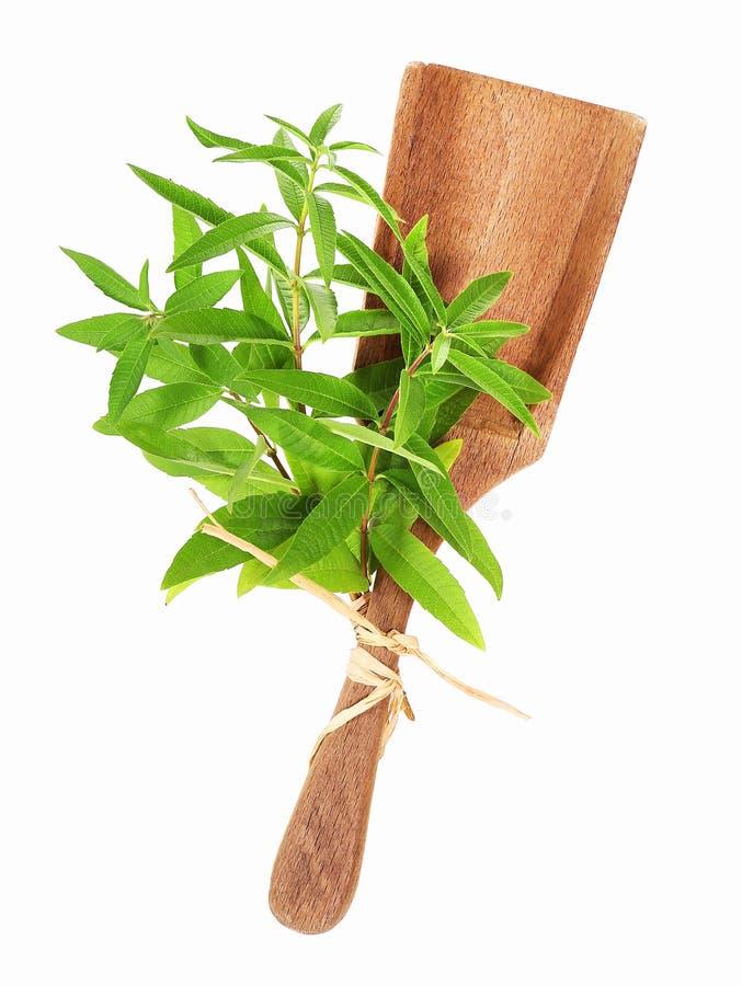 Verbena do limão, triphylla de Aloysia imagens de stock