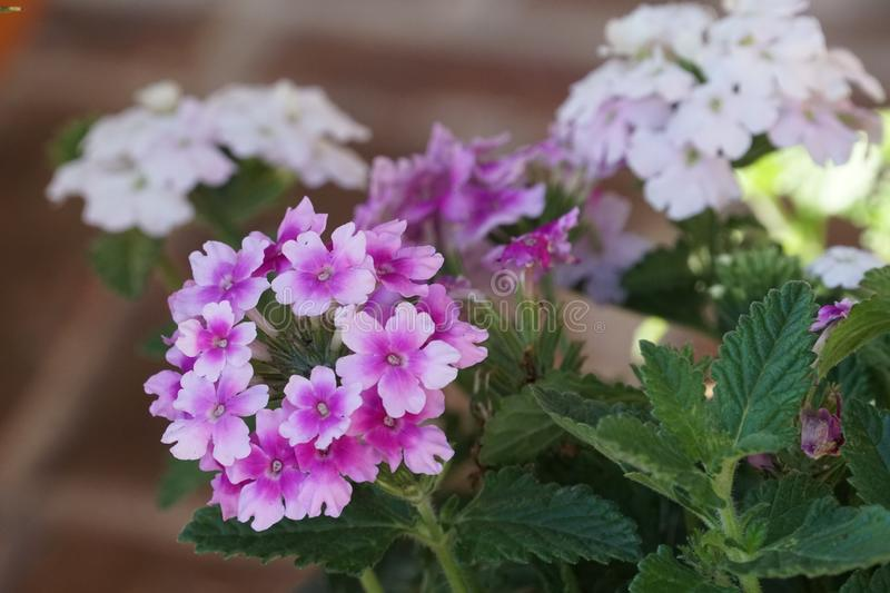 Verbena Endurascape purple flowers bloom all season. Summer fall winter and spring stock photo