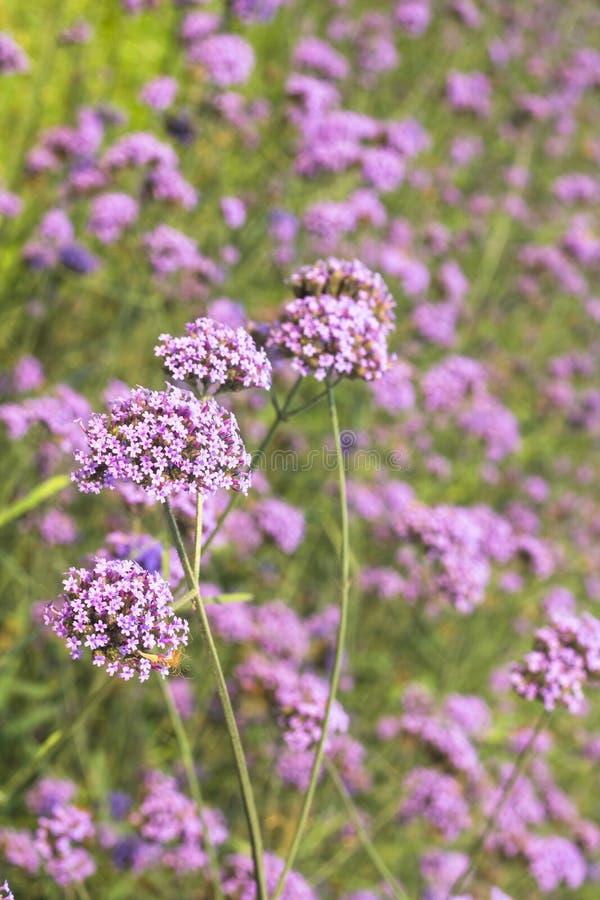 Verbena kwiat obrazy royalty free
