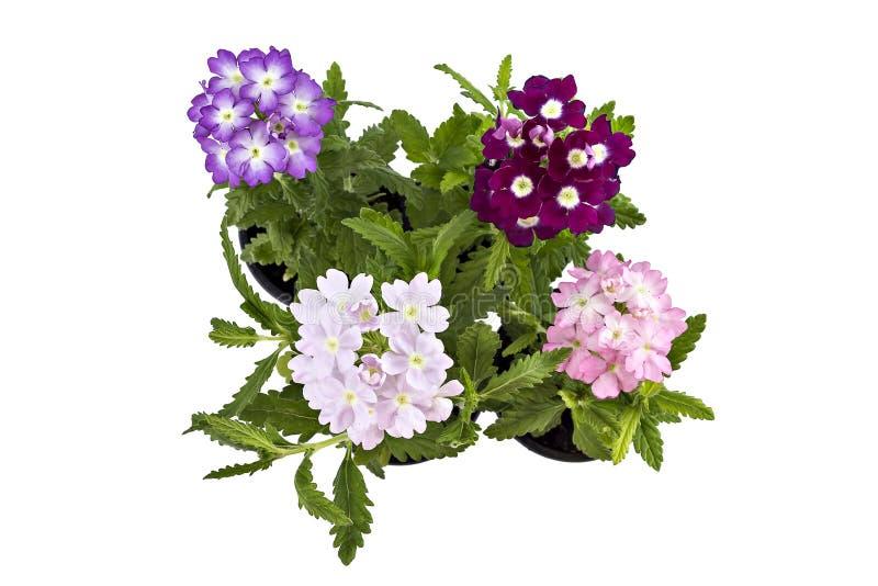 Verbena kwiat fotografia royalty free