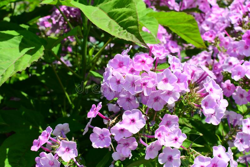 Verbena kwiat w ogródzie zdjęcie stock