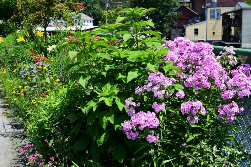 Verbena kwiat w ogródzie zdjęcie royalty free