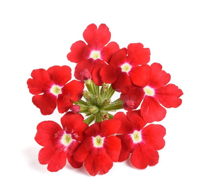 Verbena kwiaty zdjęcie royalty free