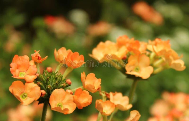 Verbena kwiaty fotografia royalty free