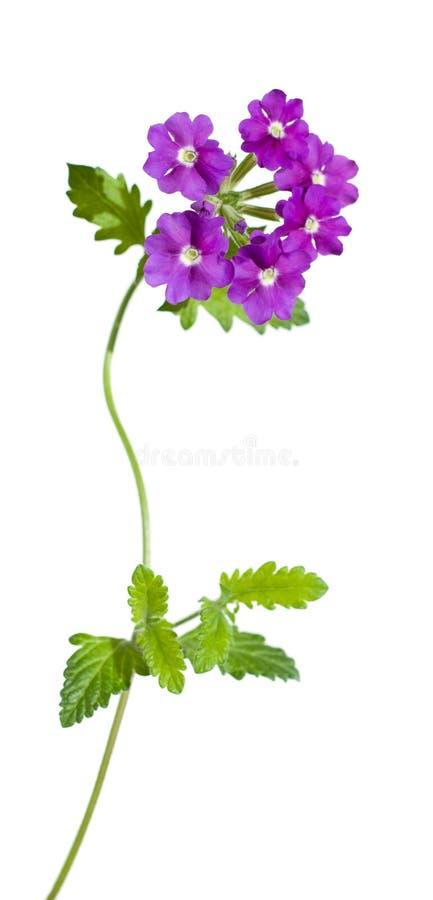 Verbena lilla del giardino, isolata fotografie stock