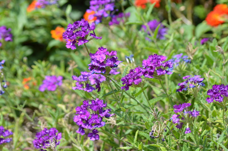 Verbena royalty free stock images
