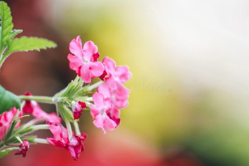 Verbena rosa fotografia stock