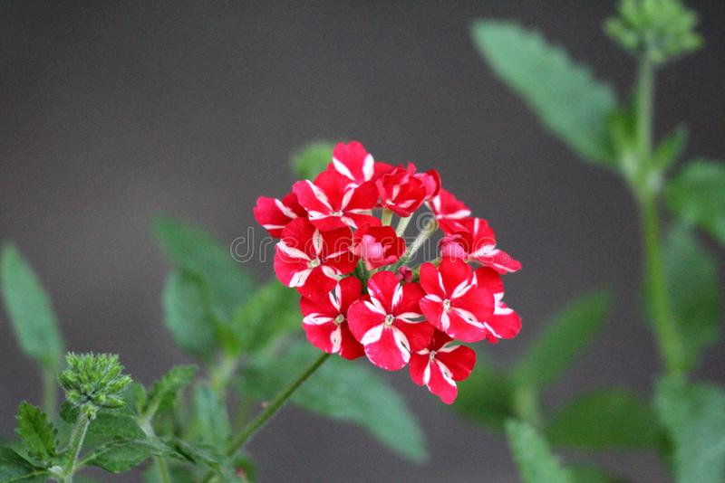 Verbena Sweet dreams Voodoo star plant with single cluster of vivid red and peachy white starred flowers growing in local urban. Garden on warm sunny spring day royalty free stock photos