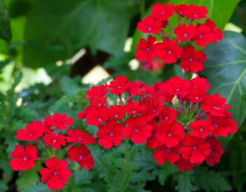 Verbena vermelho fotos de stock