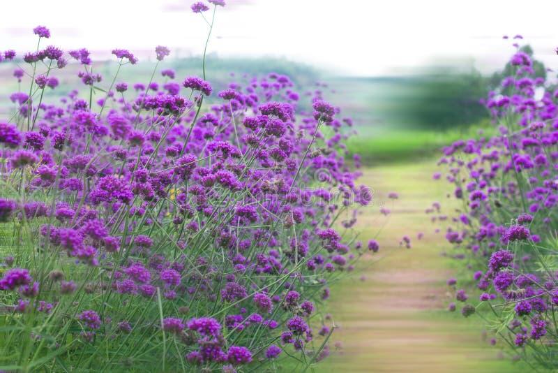 Verbene bonariensis, purpurrote Blumen lizenzfreie stockbilder
