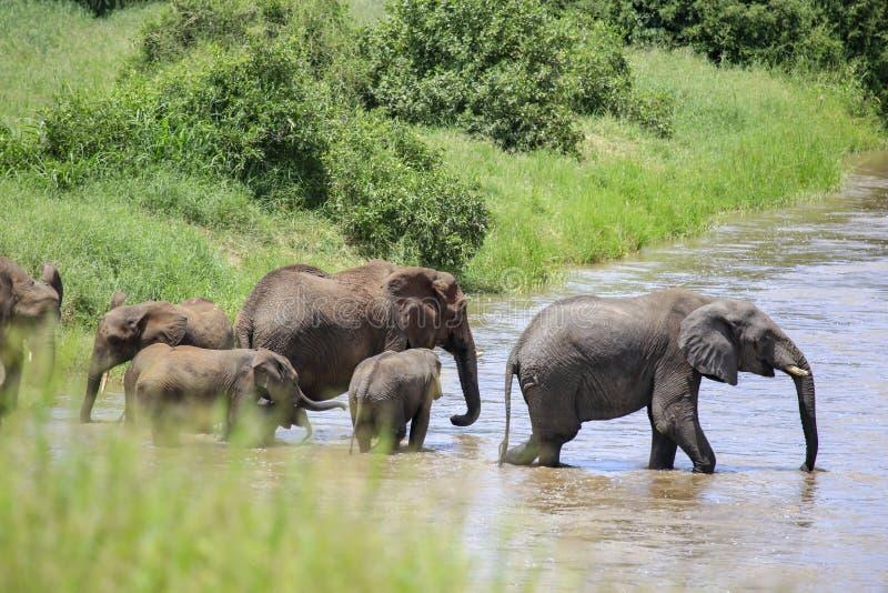 Verbergende mening van olifanten die over rivier lopen stock fotografie