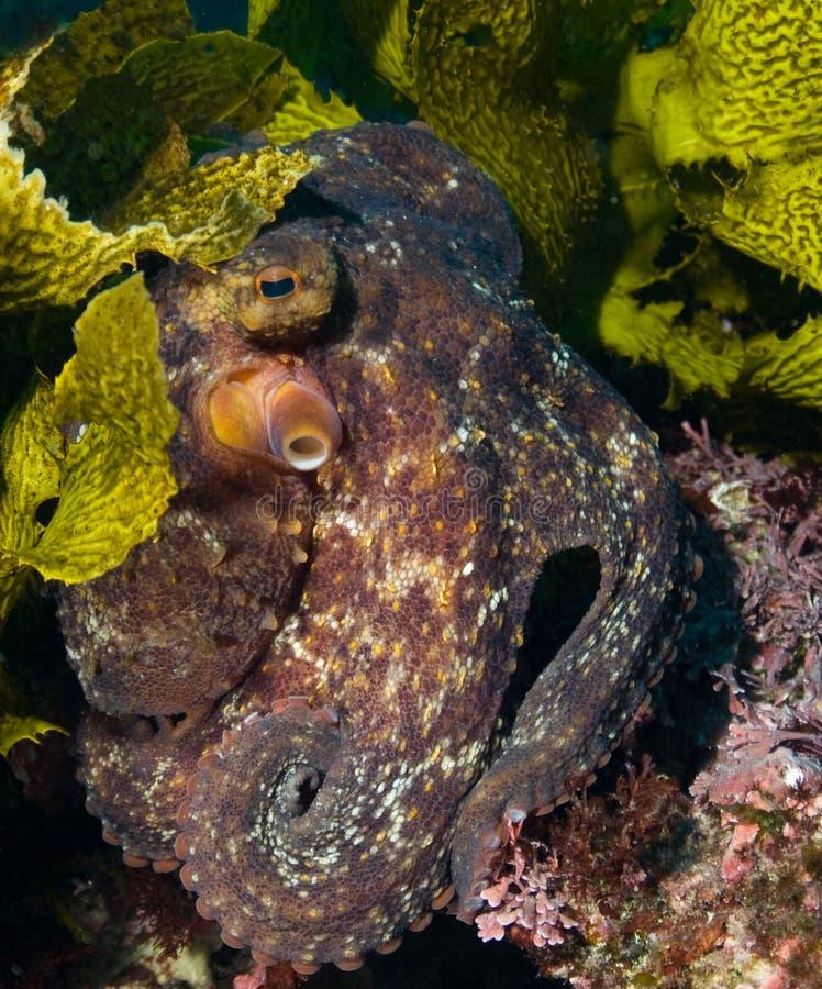 Verbergende Octopus stock afbeelding