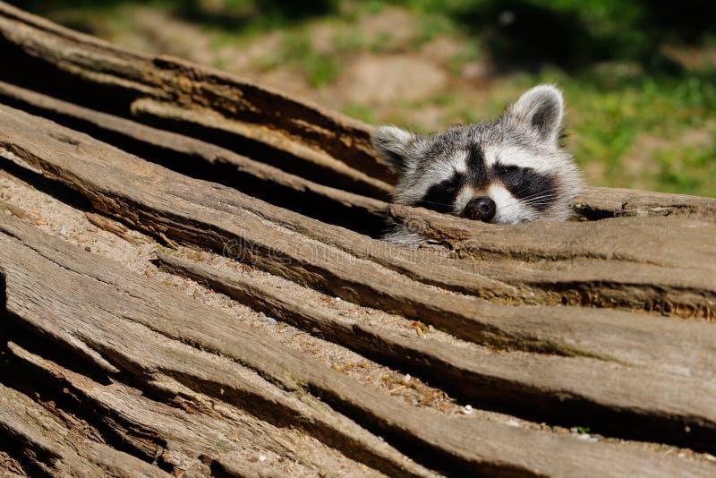Verbergende plaats van wasbeer stock fotografie