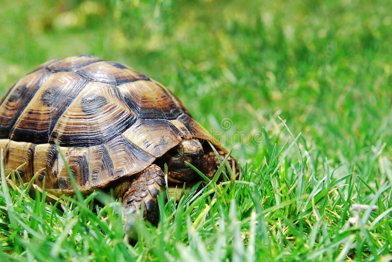 Verbergende schildpad op groen gras royalty-vrije stock fotografie