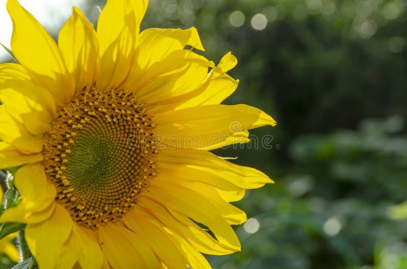 Verbetert de zonnebloem natuurlijke achtergrond, Zonnebloem die, Zonnebloemolie huidgezondheid en bevordert celregeneratie, Thail stock afbeelding
