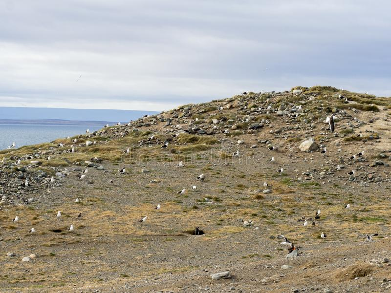 Verbinden Sie Kelp-Möve, Larus dominicanus, Isla Magdalena, Patagonia, Chile stockfoto