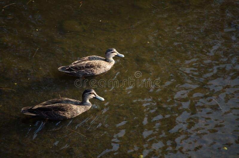Verbinden Sie pazifische Schwimmen der schwarzen Ente im Fluss stockbilder