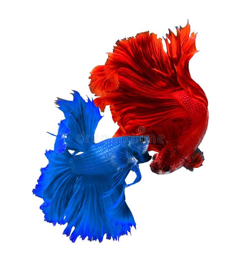 Verbinden Sie siamesische kämpfende Fische des roten und blauen Drachen, betta Fisch-ISO stockbilder