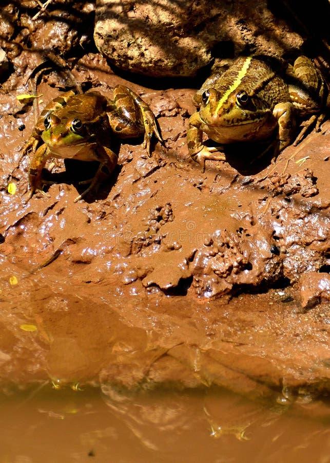 Verbinden Sie von den Kröten, die im Wasser sich reflektieren stockbilder