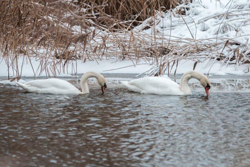 Verbinden Sie von den Schwänen, die im Wasser in der Winterzeit schwimmen Wintern Sie Vögel über lizenzfreie stockfotos