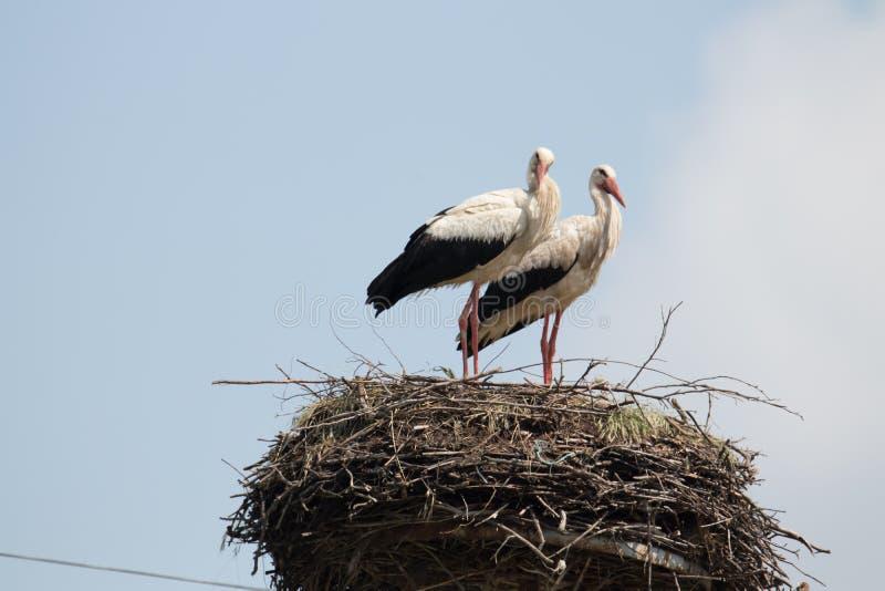 Verbinden Sie von den Störchen an ihrem Nest lizenzfreies stockbild