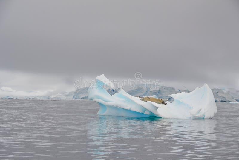 Verbinding die op ijsberg in Antarctica rusten stock foto