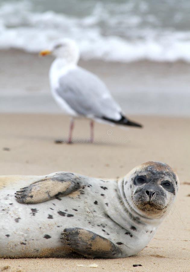 Verbinding en Zeemeeuw, het strand van Norfolk, Zandduinen, Horsey, Engeland stock fotografie