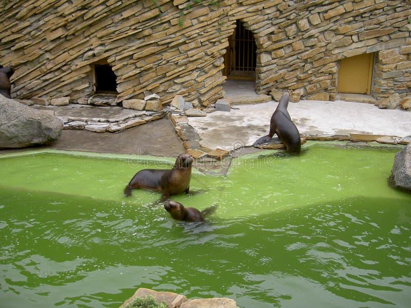 Verbinding, zeeleeuw in dierentuin Lesna, Zlin, Tsjechische Republiek royalty-vrije stock foto