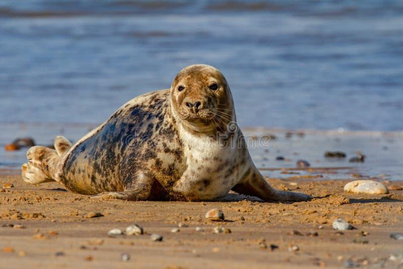 Verbindingen bij de Verbindingskolonie op het strand in Horsey, Norfolk stock fotografie