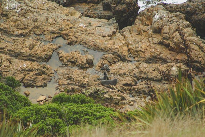 Verbindingen die op klippen bij het gezichtspunt van het Goudklompjepunt in Otago, Zuideneiland, Nieuw Zeeland rusten royalty-vrije stock foto's