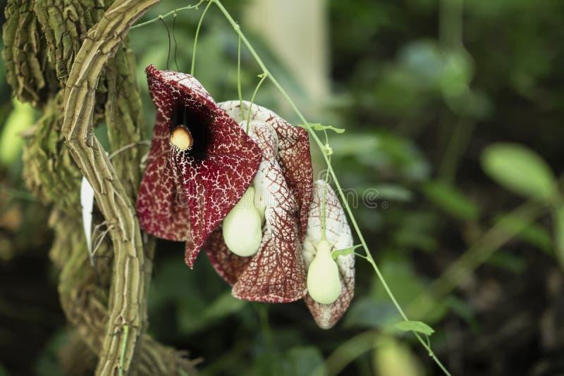 Verblaßte aber noch helle Fleisch fressende Nepenthesblumennahaufnahme Heller exotischer mit Blumenhintergrund lizenzfreie stockfotos