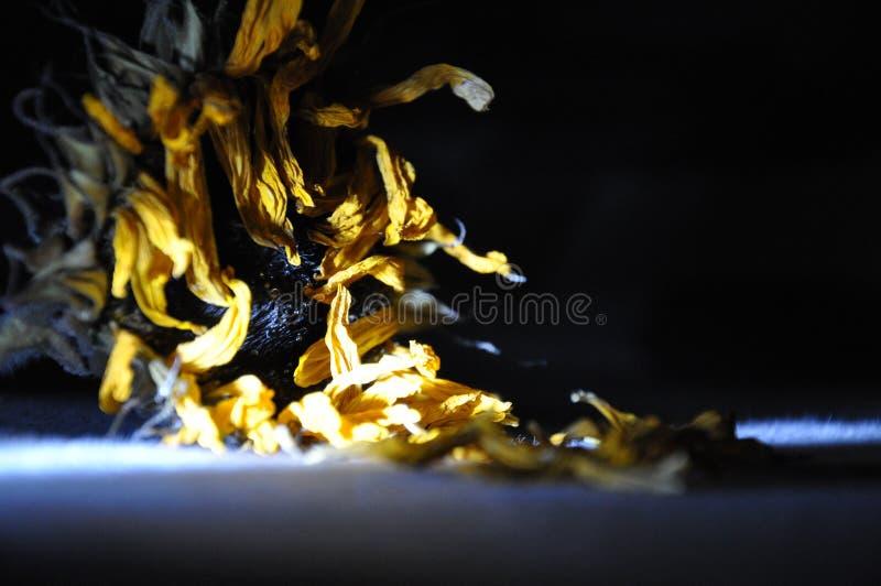 Verblaßte Sonnenblume in der Dunkelheit stockfotografie