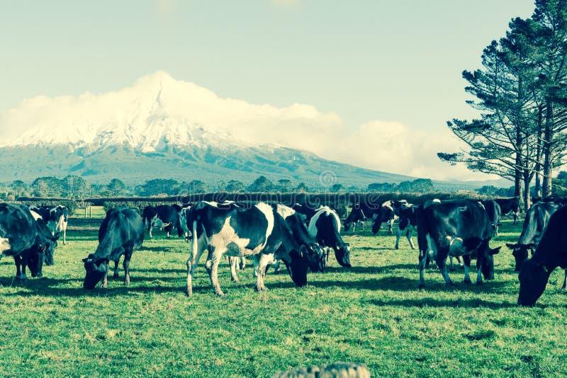 Verblaßtes Schwarzweiss-Milchvieh des Retro- Bildes des Effektes ländlichen in f lizenzfreie stockfotografie