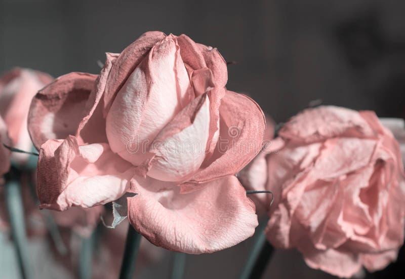 Verblassende Farbe des rosafarbenen Rosas stockfotografie
