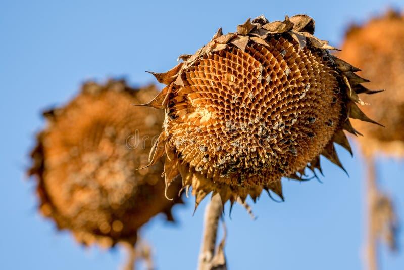 Verblassene Sonnenblume stockbilder