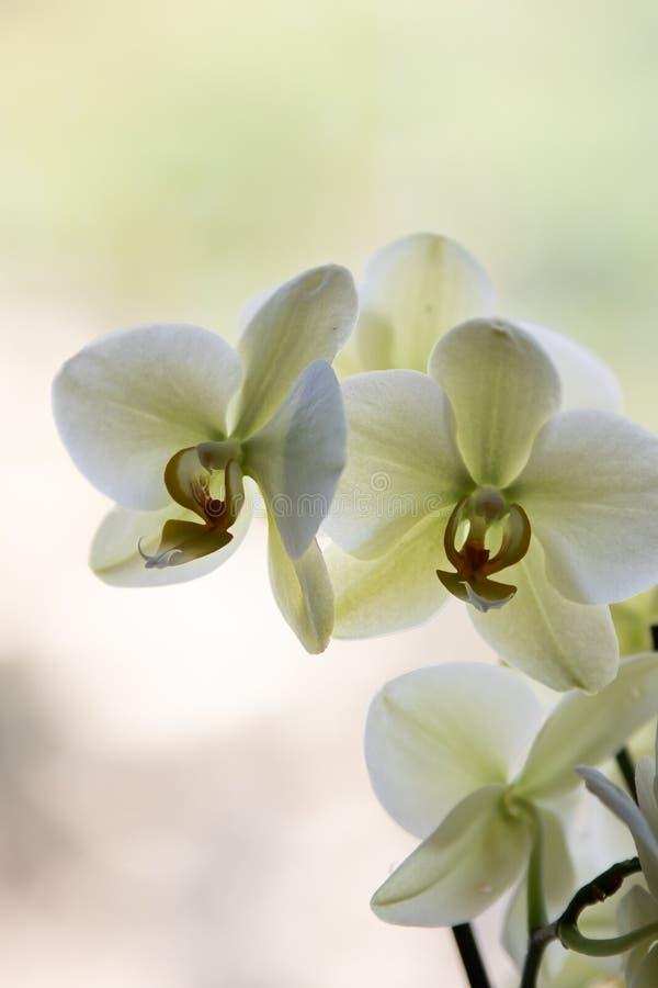 Verbleek - groene orchideeën op bleke achtergrond stock afbeelding