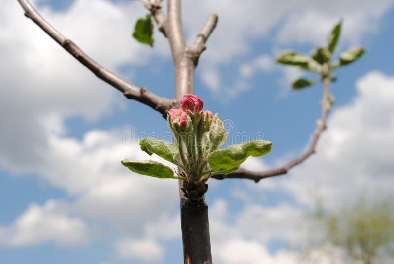 Verbleek - roze bloemen van appelbomen op een zonnige dag in Mei royalty-vrije stock afbeeldingen