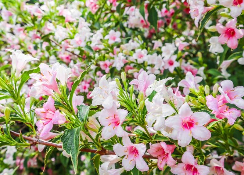 Verbleek - roze bloemen van Weigela Florida Variegata Bloemen achtergrond royalty-vrije stock foto's