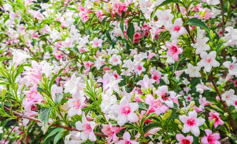 Verbleek - roze bloemen van Weigela Florida Variegata Bloemen achtergrond stock foto