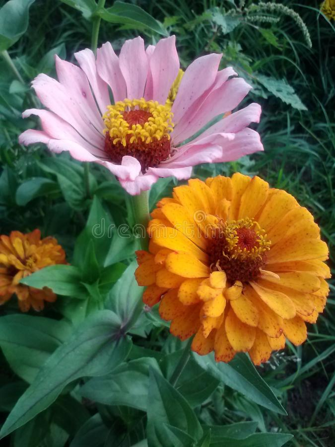 Verbleek - roze royalty-vrije stock foto