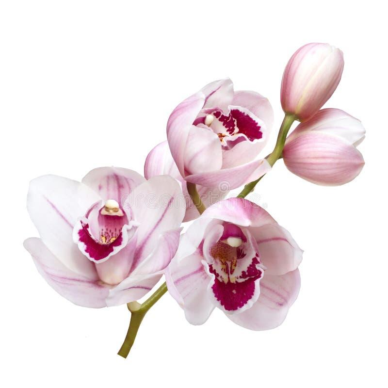 Verbleek - roze die orchideebloemen op witte achtergrond worden geïsoleerd royalty-vrije stock foto's