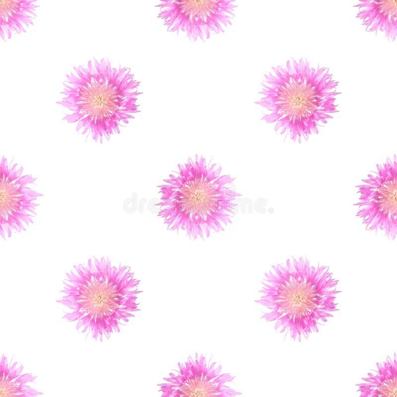 Verbleek - roze grote korenbloemen op een wit geïsoleerde achtergrond royalty-vrije stock afbeelding