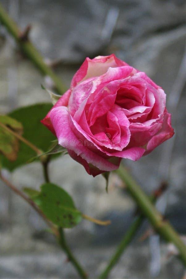 Verbleek - roze nam tegen muur toe royalty-vrije stock afbeelding