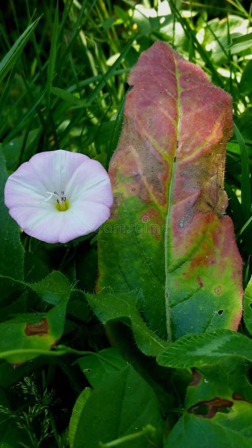 Verbleek - roze ochtendglorie en groot blad stock foto