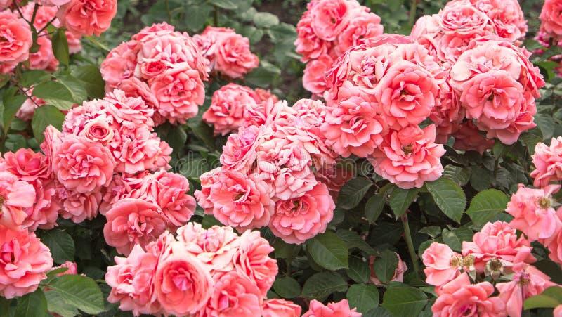 Verbleek - roze rozenstruik in tuin, uitstekende kleur Struik van mooie roze rozen royalty-vrije stock afbeelding
